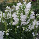 USA SELLER Obedient Plant White 50 seeds