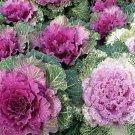 USA SELLER Ornamental Kale Mix 15 seeds