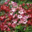 USA SELLER Scarlet Queen Penstemon 100 seeds