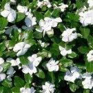 USA SELLER Dwarf Little Blanche Perwinkle 50 seeds