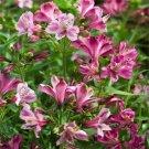 USA SELLER Peruvian Lily Aurantiaca Devotion 10 seeds