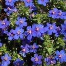 USA SELLER Blue Pimpernel 50 seeds