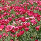 USA SELLER California Poppy Carmine King 200 seeds