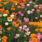 USA SELLER California Poppy Mission Bells Mix 200 seeds