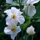 USA SELLER White Himalayan Poppy 10 seeds