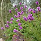 USA SELLER Purple Prairie Clove 100 seeds