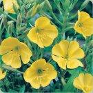 USA SELLER Yellow Evening Primrose 100 seeds