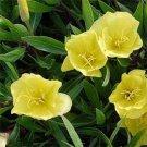 USA SELLER Dwarf Yellow Evening Primrose 100 seeds