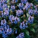 USA SELLER Heall All Blue 100 seeds