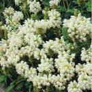 USA SELLER Heall All White 100 seeds