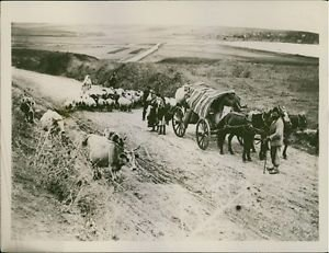 A photo of Greek and Armenian  peasants drive their flocks in hearing that Turks