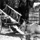 bullock cart - 8x10 photo