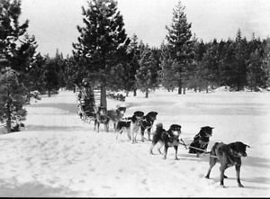 Dog sled team - 8x10 photo