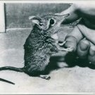 A rat holding fingers. - 8x10 photo