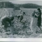 The Finns harvesting their potato crop to take with them to their new home. - 8x