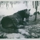 Finnish-Russian War 1939-40A horse lying on a snowy ground, during the war in F