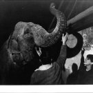 Claudia Cardinale laughing after seeing elephant.  - 8x10 photo