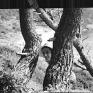 """Audrey Hepburn looking from behind a tree, in a still from her movie """"Two for th"""