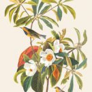 Bachmans Warbler - 16x24 Giclee Fine Art Print