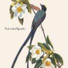 Fork-Tailed Flycatcher - 16x24 Giclee Fine Art Print