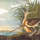 Long-Billed Curlew - 16x24 Giclee Fine Art Print Framed In Black (20x30 Finished)
