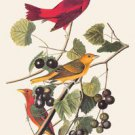 Summer Tanager - 16x24 Giclee Fine Art Print Framed In Gold (20x30 Finished)