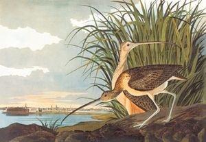 Long-Billed Curlew - 16x24 Giclee Fine Art Print