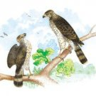 Pigeon Hawk, With Broad Wing Hawk - 16x24 Giclee Fine Art Print Framed In Gold (20x30 Finished)