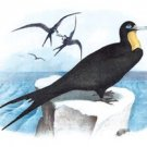 Frigate (man-Of-War Bird) - 16x24 Giclee Fine Art Print