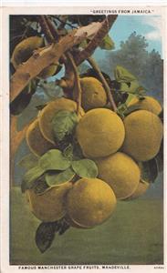 CO87. Vintage Jamaican Postcard. Famous Manchester Grape Fruits. Mandeville