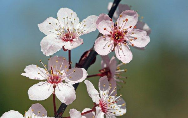 All Natural Cherry Blossom Scented Shampoo 2 Oz