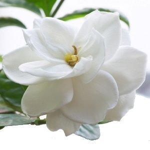 All Natural Gardenia Scented Shampoo 16 Oz