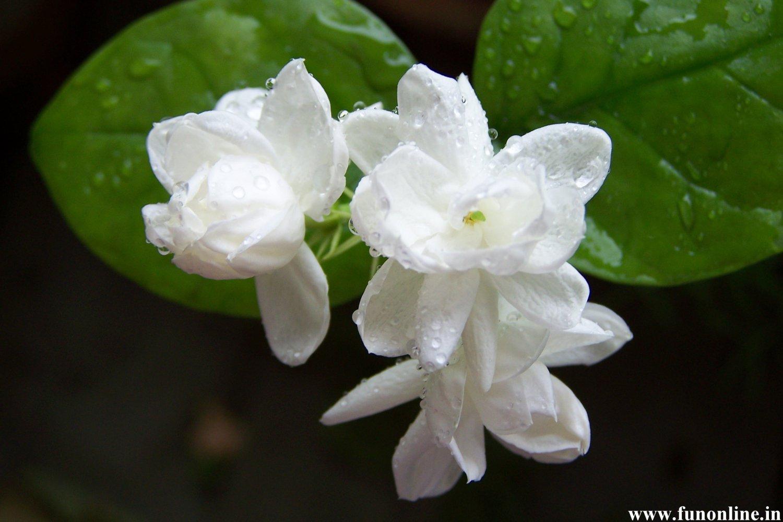 All Natural Jasmine Scented Shampoo 16 Oz
