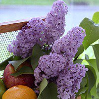 All Natural Lilac In Bloom Scented Shampoo 2 Oz