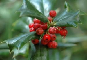Ambrosial 1 FLoz 30ml Wintergreen Essential Oil 100% Pure Natural Buy2 Get1 Free
