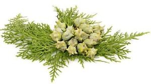 Ambrosial Cypress Essential Oil 100% Pure Organic Natural
