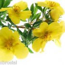 Ambrosial Evening Primrose Essential Oil 100% Pure Organic Natural Uncut