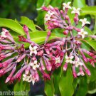 Ambrosial Amyris Oil 100% Pure Organic Natural