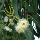 Ambrosial Eucalyptus Essential Oil Pure Natural Organic for Synus Asthma Cough