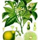 Ambrosial Bergamot Essential Oil 100% Pure Organic Natural