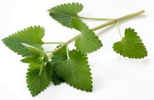 Ambrosial Catnip Essential Oil 100% Pure Organic Natural Uncut 10ml to 1000ml
