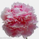Ambrosial Carnation Essential Oil 100% Pure Organic Natural Uncut 10ml to 1000ml