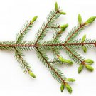 Ambrosial Spruce Essential Oil (Tsuga Canadensis) 100% Natural 10ml to 1000ml