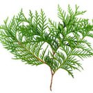 Ambrosial Thuja Wood Oil (Thuja Occidentalis) 100% Natural 10ml to 1000ml