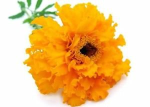 Ambrosial Tagetes Essential Oil (Tagetes Minuta) 100% Natural 10 ml to 1000ml