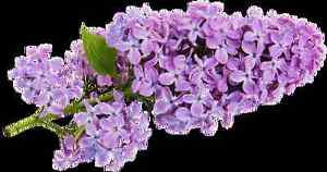 Ambrosial Lilac Fragrance Oil for Bath Oil, Salt, Burner, Potpourri, Candles