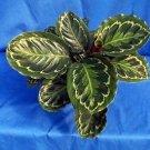 Medallion Prayer Plant - Calathea 4'' Pot - Easy House Plant
