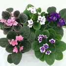 """Novelty African Violet - 4"""" Clay Pot/Better Growth - Best Blooming Plant"""