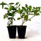 White Gardenia - 2 Set