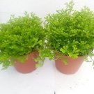 "Two Frosty Fern Spike Moss - Selaginella - Easy to Grow - 2.5"" Pot"